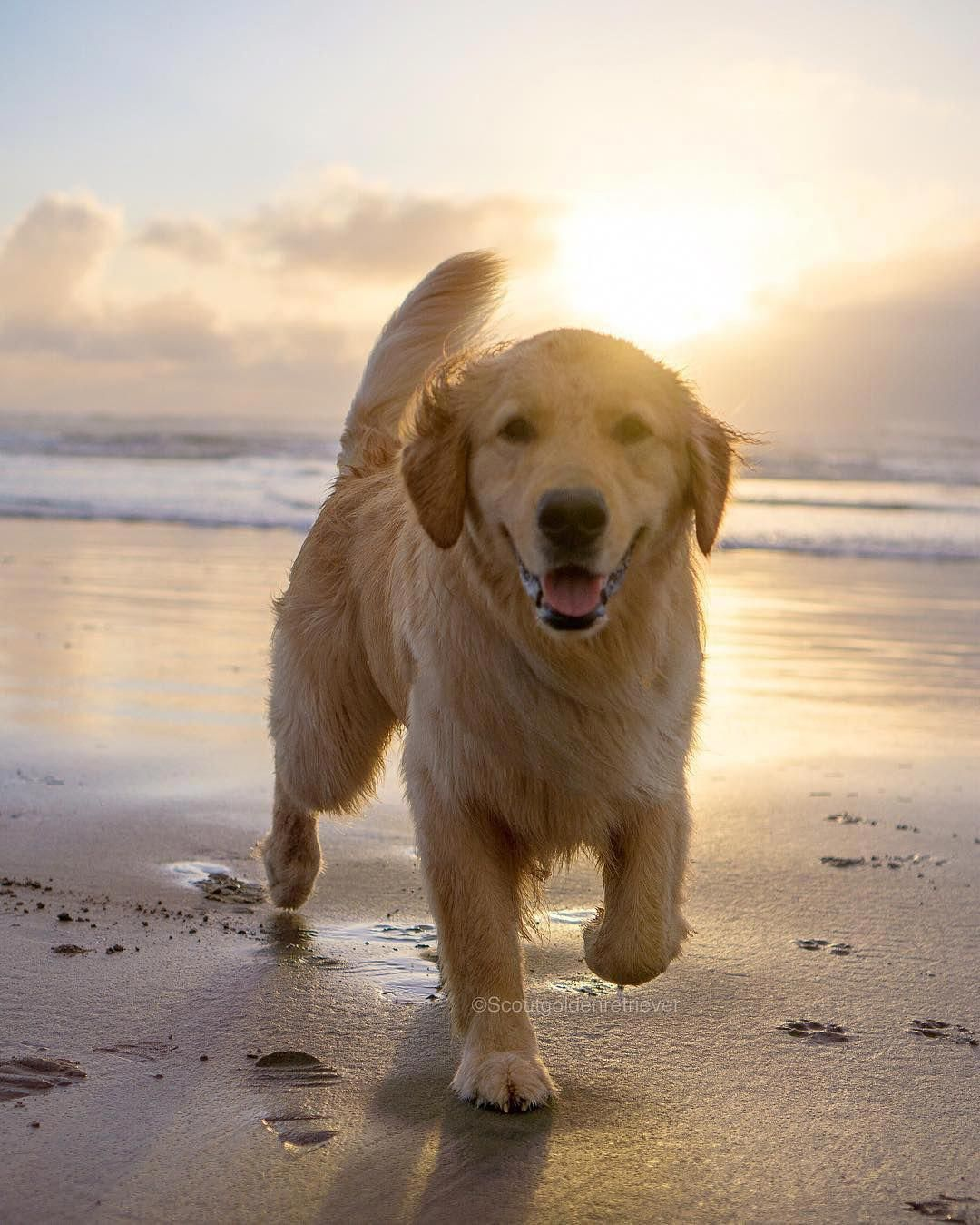 Some Of The Things I Adore About The Trustworthy Golden Retr Some Of The Things I Adore About The Trustwo In 2020 Golden Retriever Dog Beach Golden Retriever Facts