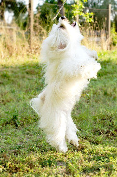 Maltese Dog Breed Information Pictures Characteristics Facts