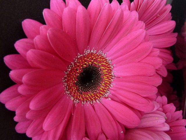 Pink Gerbera Daisy Meaning With Images Church Wedding