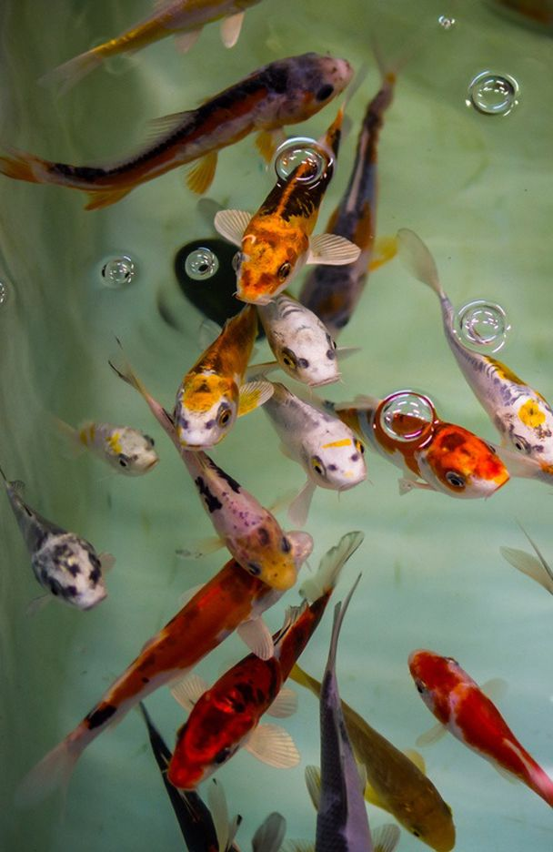 Koi i have 2 of these in my 75 gallon tank amazing and for Japanischer kampffisch
