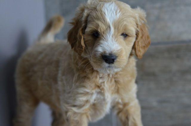 Iowa Goldendoodle Puppy Goldendoodle puppy, Goldendoodle
