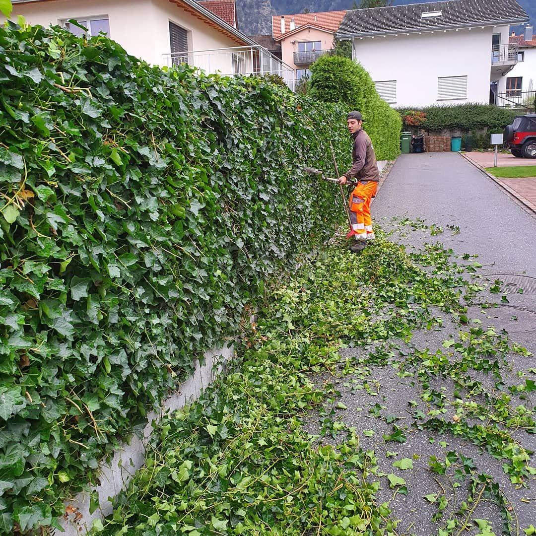 Gartenpflege Gartenunterhalt Efeuwand Heckenschnitt Kuhngartenbau Gartenpflege Garten Efeu Wand