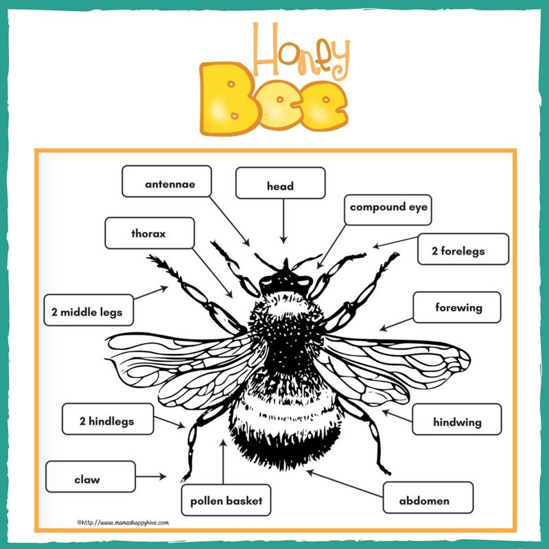 Download Your Free Printable Pdf Download The Honey Bee Anatomy
