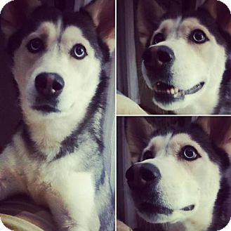 Pictures Of Ava A Siberian Husky For Adoption In Hewitt Nj Who