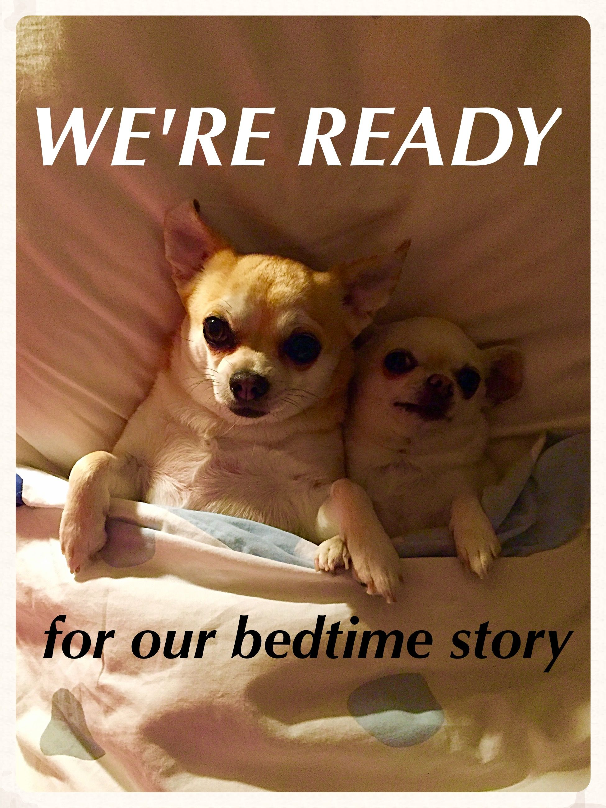 Once Upon A Time There Were Two Spoiled Chihuahuas