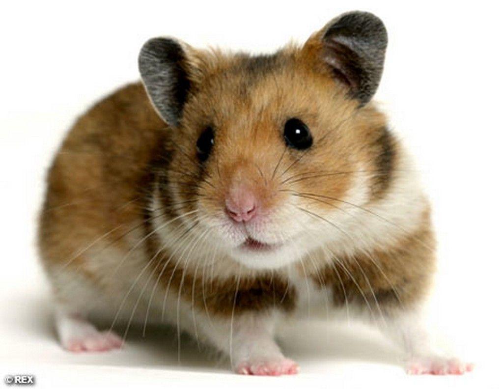 All About Syrian Teddy Bear Hamster Lustige Hamster Susseste
