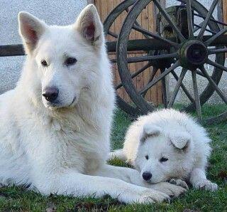 Berger Blanc Suisse White Swiss Shepherd White German Shepherd Dog Breeds German Shepherd Mom