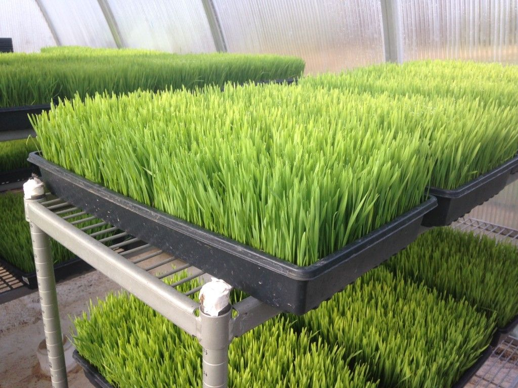 How To Grow Wheat Grass At Home For Your Smoothies