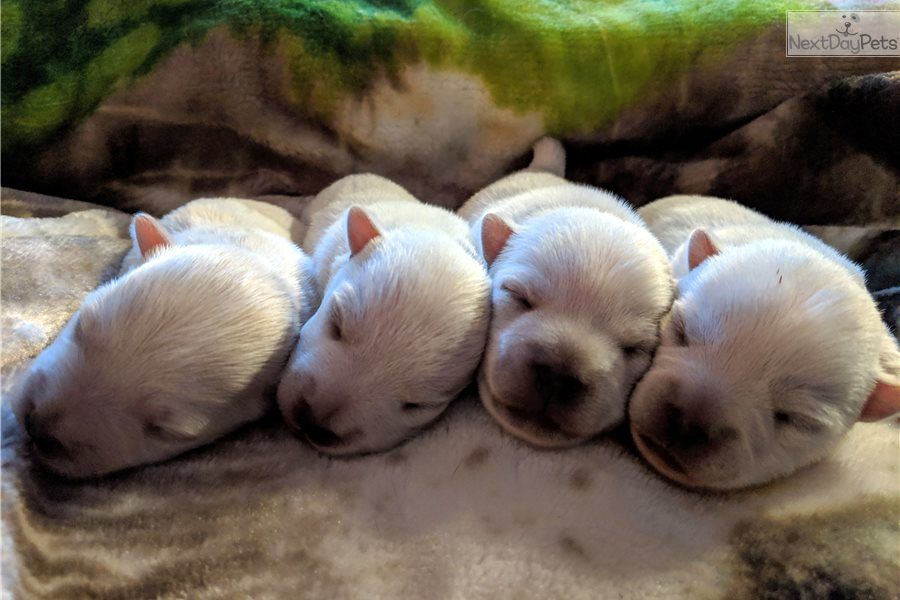 Cupid West Highland White Terrier Westie Puppy For Sale Near Fort Wayne Indiana 3726472 White Terrier Westie Puppies For Sale West Highland White Terrier