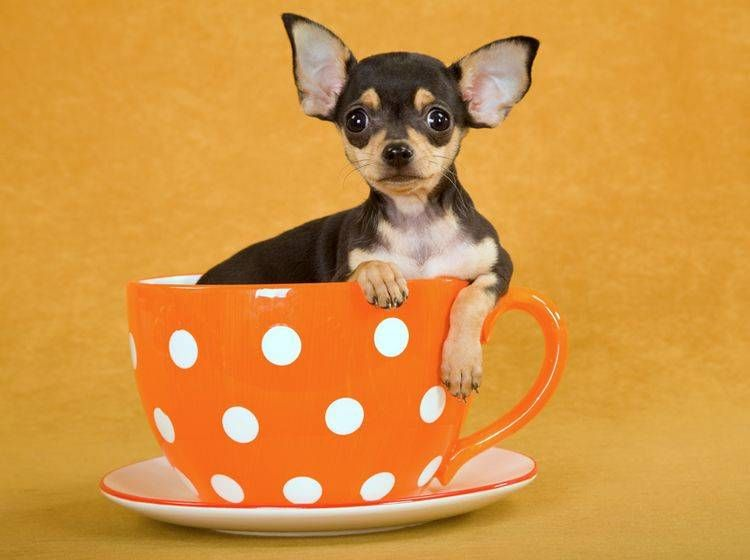 Teacup Chihuahua Sind Teacup Hunde Tierqualerei Chihuahua Welpen Vom Zuchter Oder Privat Hunde Haustier Chihuahua Hu In 2020 Teacup Chihuahua Chihuahua Mix Chihuahua