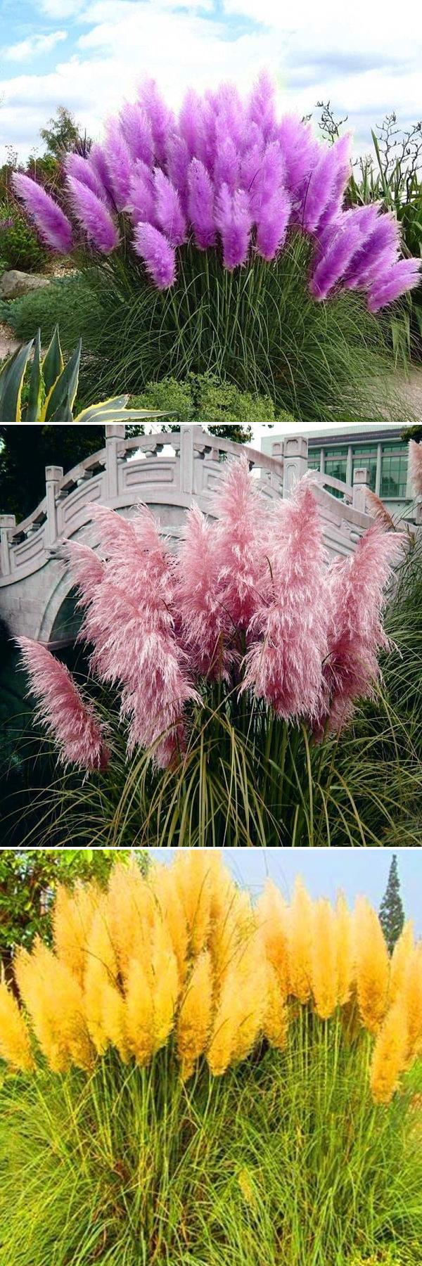US$2.39 200Pcs Pampas Grass Seed Potted Ornamental Plants Purple Pampas Grass Garden Bonsai