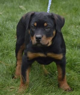 Puppies For Sale Buckeye Puppies Puppies For Sale Puppies Rottweiler