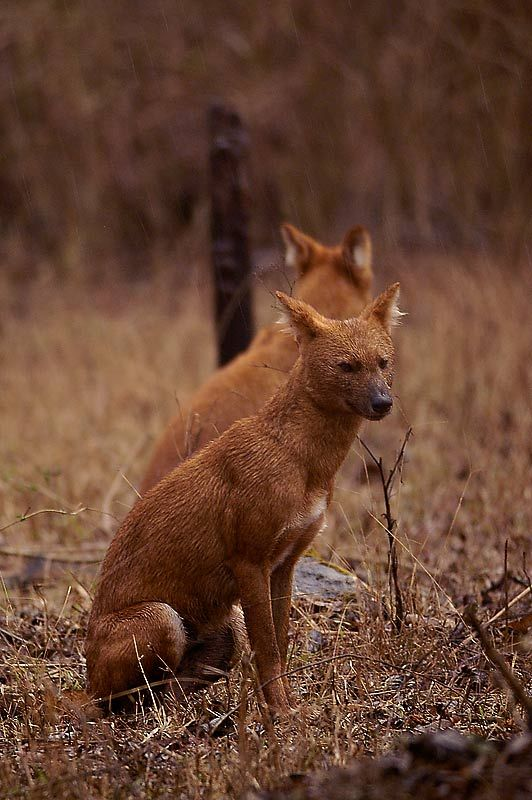 Dholes | Other Ref  | Animals, Rare animals, Wild dogs