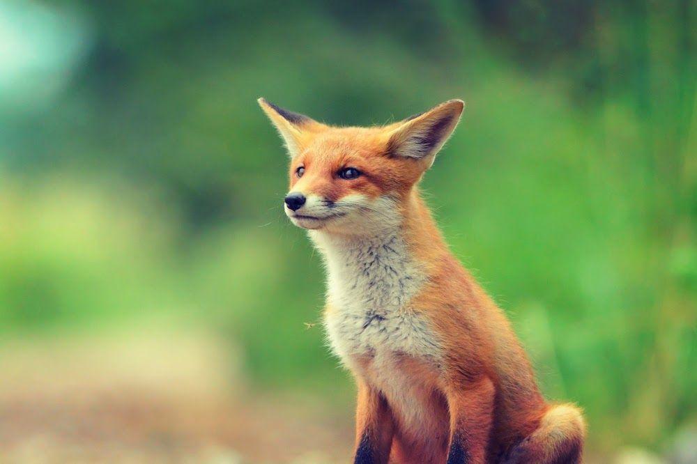 Смешные картинки лисичка, любимые