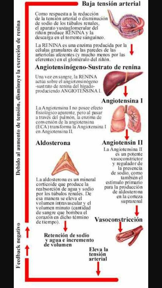 próstata y renina