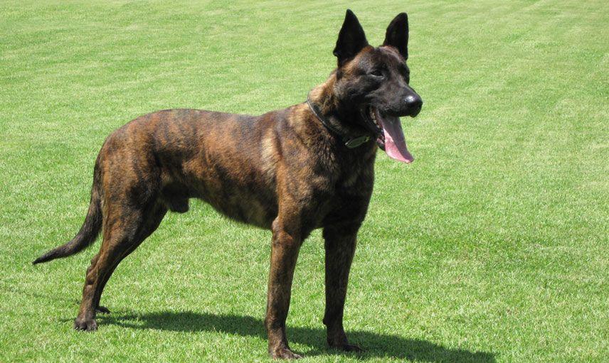 Dutch Shepherd Dog Hollandse Herder Mit Bildern Haustiere Schutzhunde Gebrauchshund