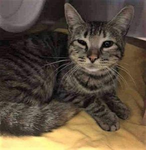 ARIEL – A1107955 - 6mos FEMALE, TORBIE, DSH - FRACTURE POSSIBLE - Kitten has possible fracture or soft tissue injury on left hind limb - has wound - needs xrays and medical eval.
