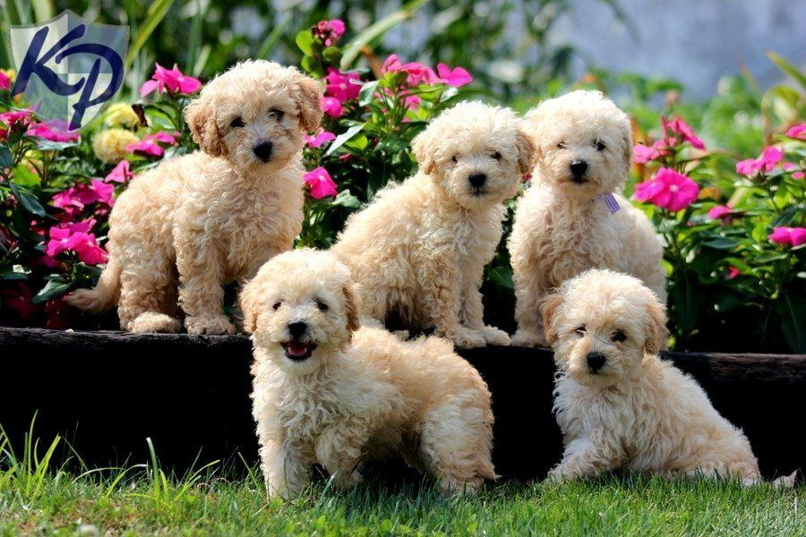 Top 20 Cutest Dog Breeds around the World Cute dogs