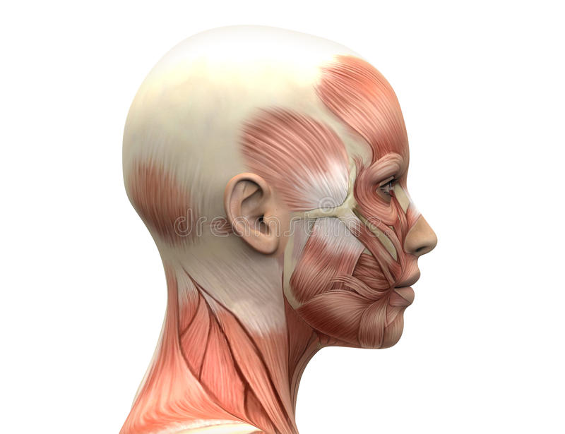 Female Head Muscles Anatomy Front View Female Head Muscles Human Anatomy Front View Head Anatomy Human Skull Anatomy Head Muscles