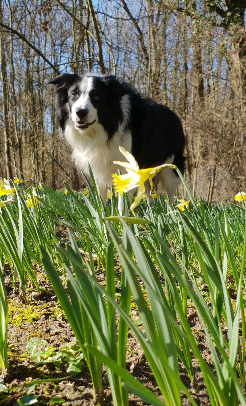 Jaizkibel border collie bûcheron Puppy breeds, Dogs and