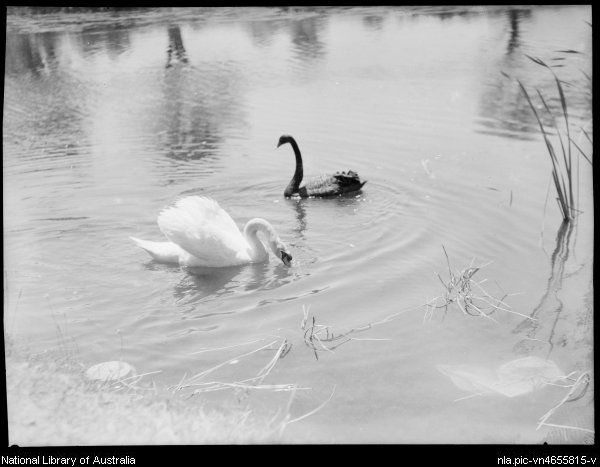 Searle, E. W. (Edward William) 1887-1955. Two swans, Australia, ca. 1935, 3 [picture]