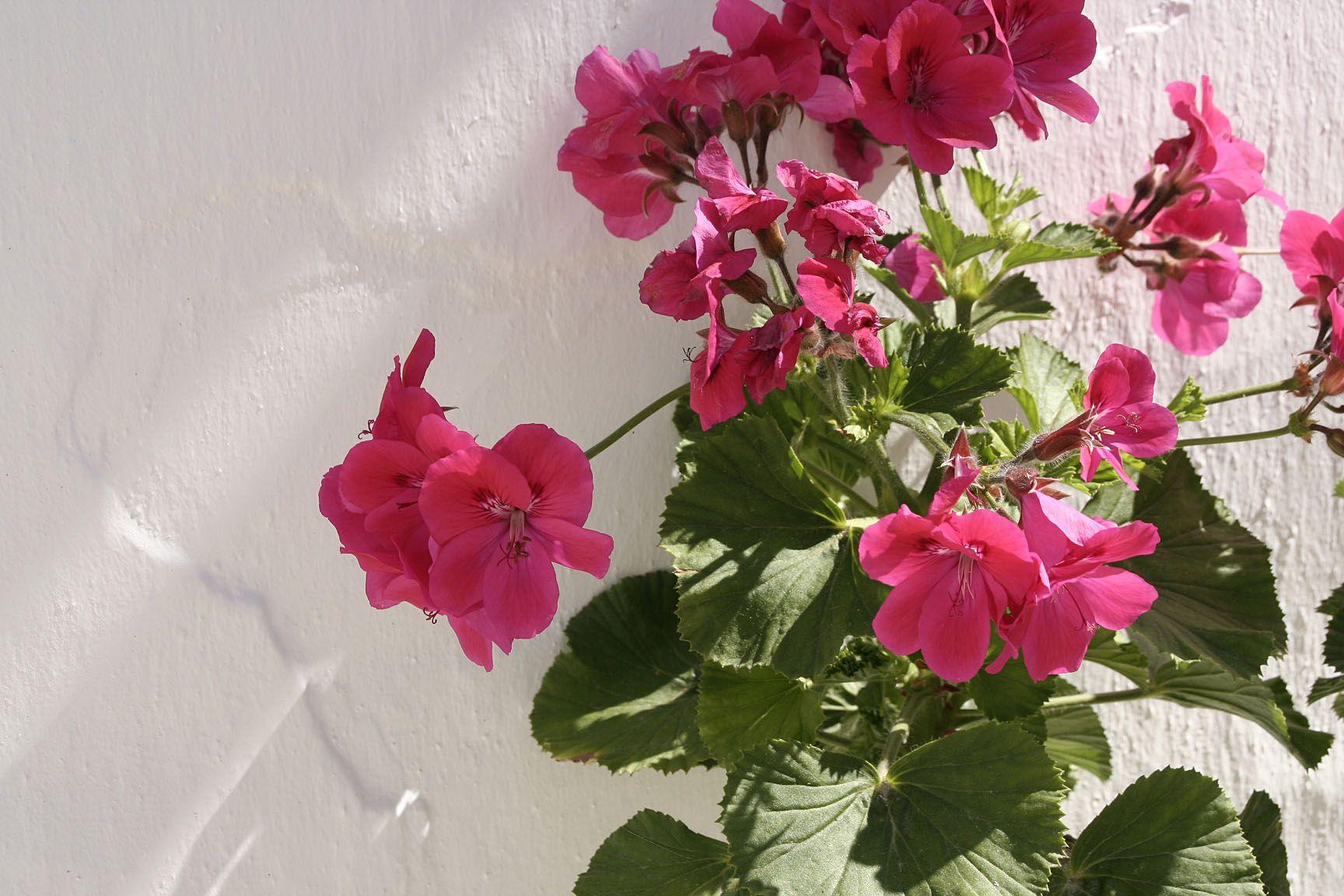 Flowers in Frigiliana, a lovely white village close to Malaga (50km).