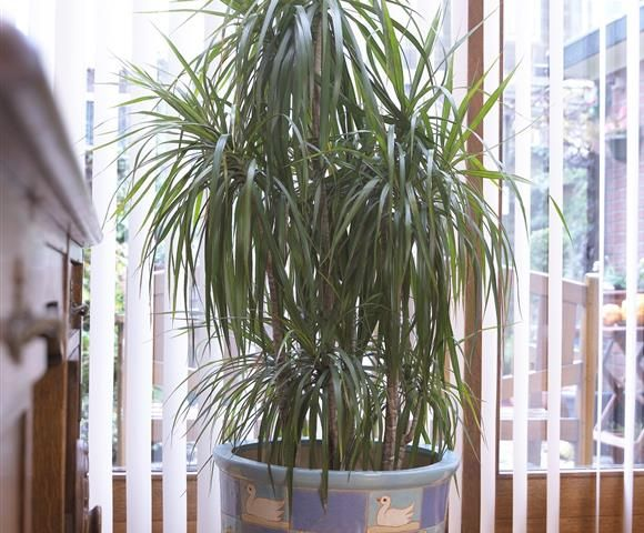 dracaena marginata design offices pinterest garden conservatory und living room. Black Bedroom Furniture Sets. Home Design Ideas
