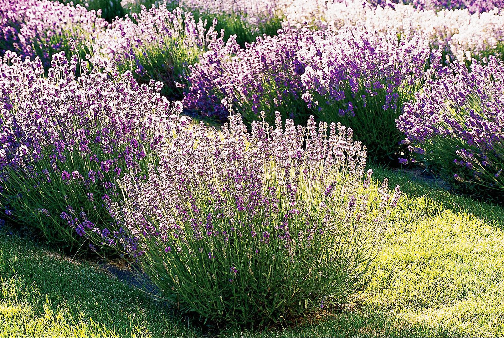 A Gardener S Guide To Growing Beautiful And Fragrant Lavender