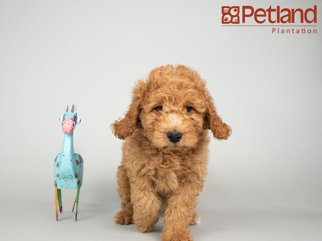 Petland Florida Has Mini Goldendoodle Puppies For Sale Interested