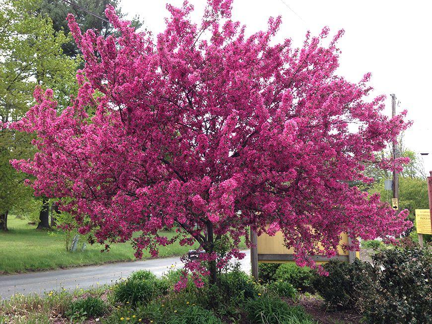 Malus Prairifire Malus Pinterest Flowering Crabapple