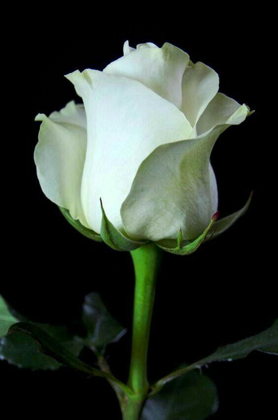 White Rose Beautiful Rose Flowers Pretty Flowers Amazing Flowers