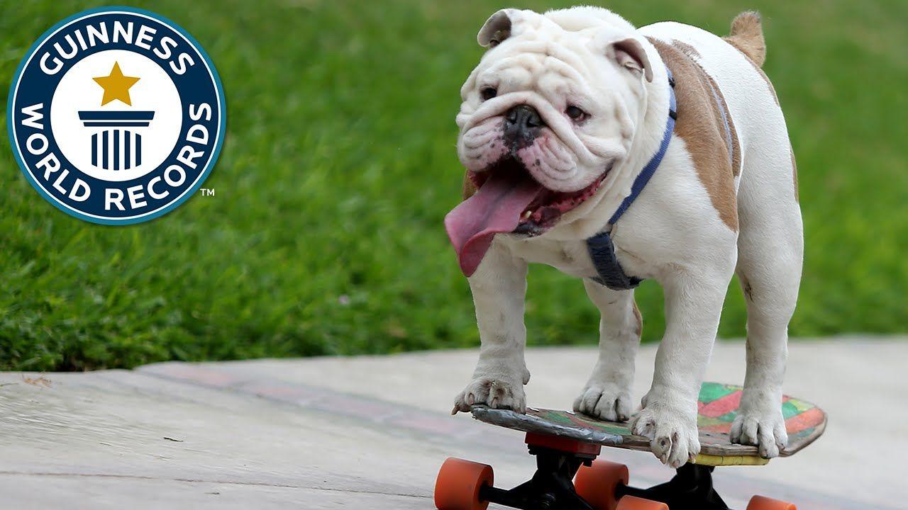 Otto The Skateboarding Bulldog Guinness World Records Bulldog Pug Puppies Guinness World Records