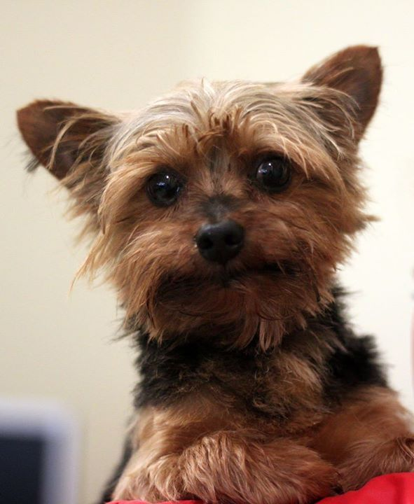 Baxter is a 10-year-old Yorkie mix, and he is available for adoption at The Lexington Humane Society in Lexington KY. For more information or to adopt Baxter please call (859) 264-1742!