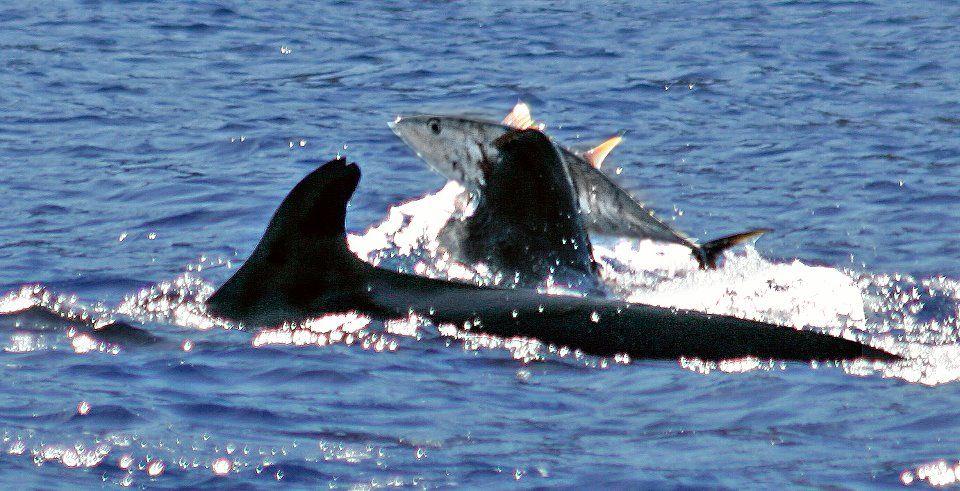 False killer whale with yellowfin tuna of the coast of for Fly fishing kauai