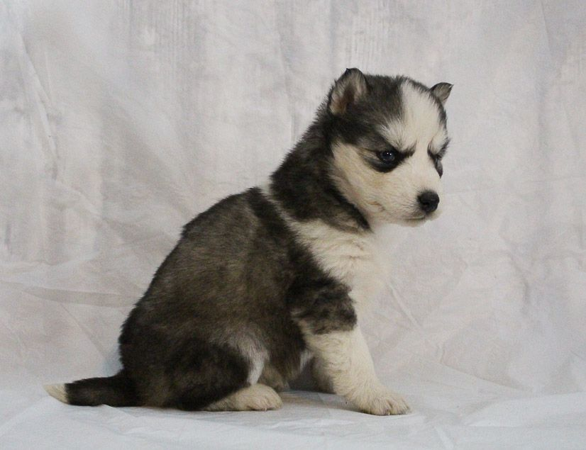 Sophia A Female Akc Siberian Husky Puppy For Sale In Indiana