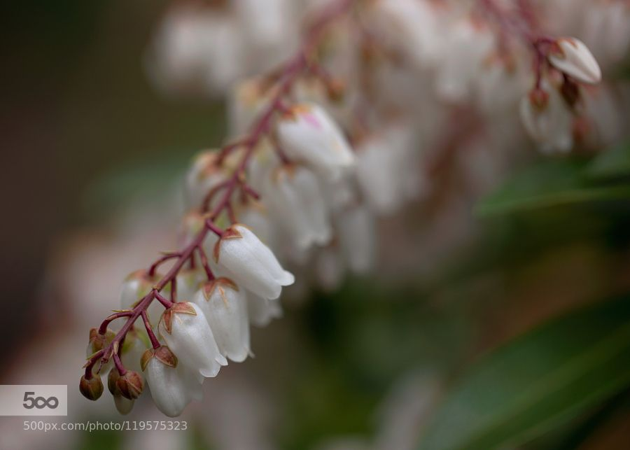 pieris japonica common name: temple bells