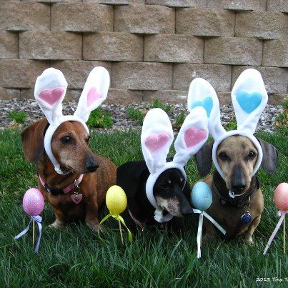 Easter Doxies From Dachshund Paws And Pals Southern California Easter Pets Doxie Puppies Dachshund Love