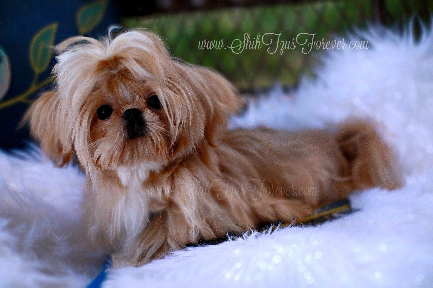 Pin By Norma Landeros On Dream Shih Tzu In 2020 Imperial Shih Tzu Teacup Shih Tzu Shih Tzu