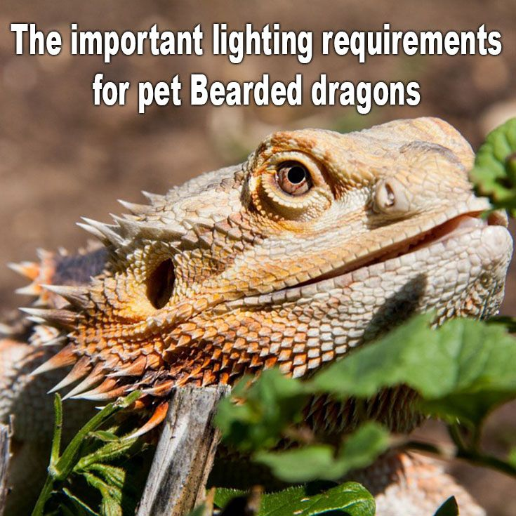 The Important Lighting Requirements For Pet Bearded