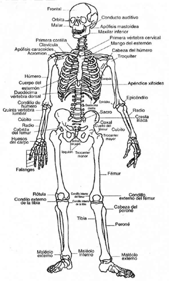 Araucaria2000 Cl Portal Educacional Imagenes Del Esqueleto Humano Huesos Del Cuerpo Humano Huesos Del Cuerpo