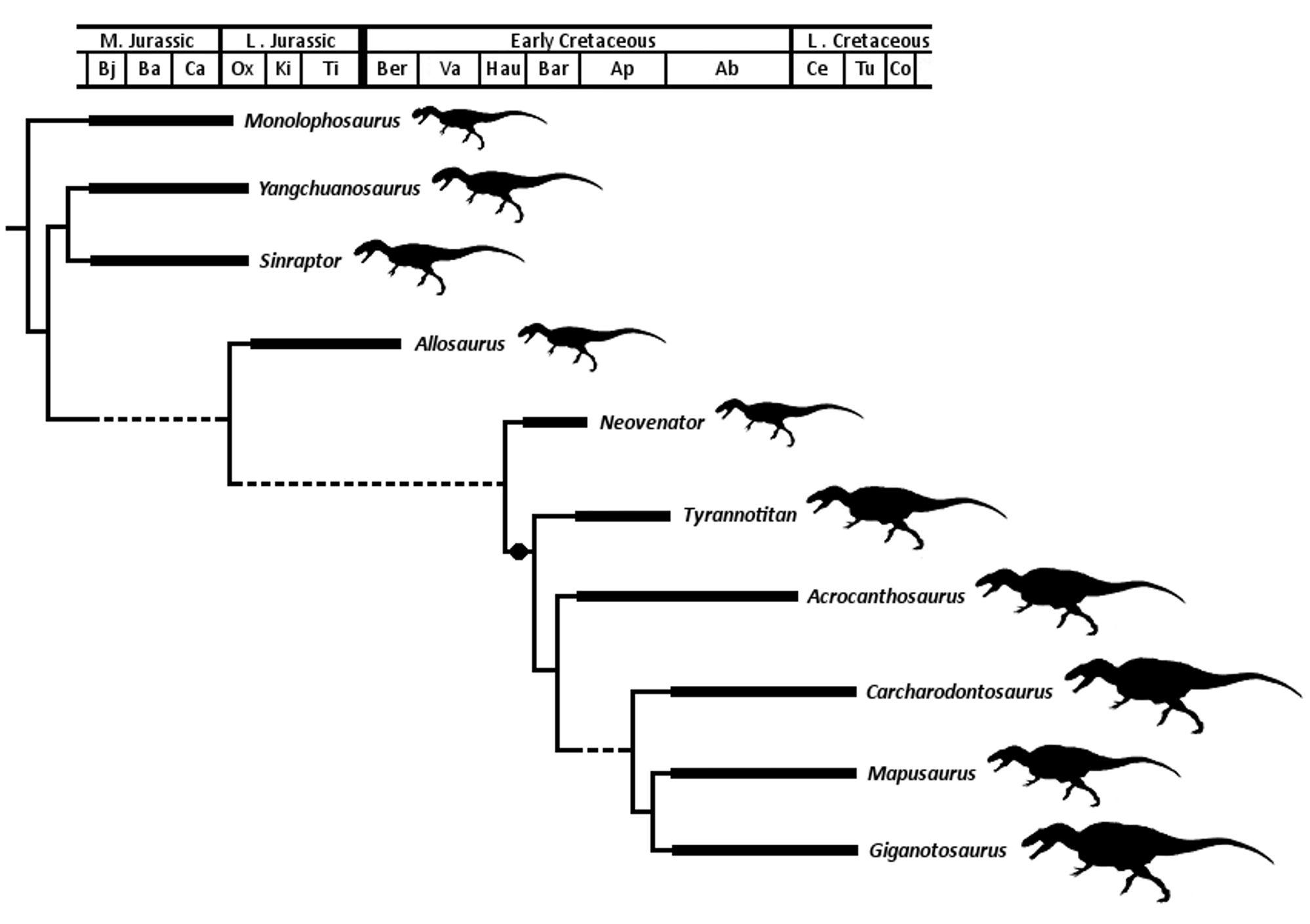 Phylogramme Et Comparaison De Taille Des Allosauroidea