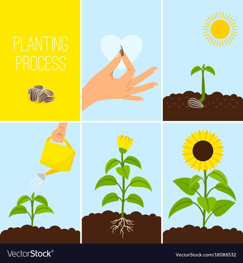 Flower Planting Process Royalty Free Vector Image Sequencing Activities Kindergarten Plants Montessori Activities [ 1080 x 1000 Pixel ]