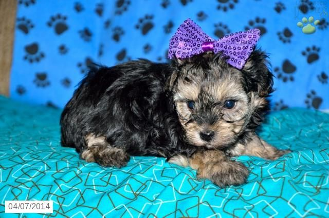 Mountain Dew Yorkiepoo Puppy For Sale In Sugarcreek Oh Yorkie Poo Puppies For Sale Puppies