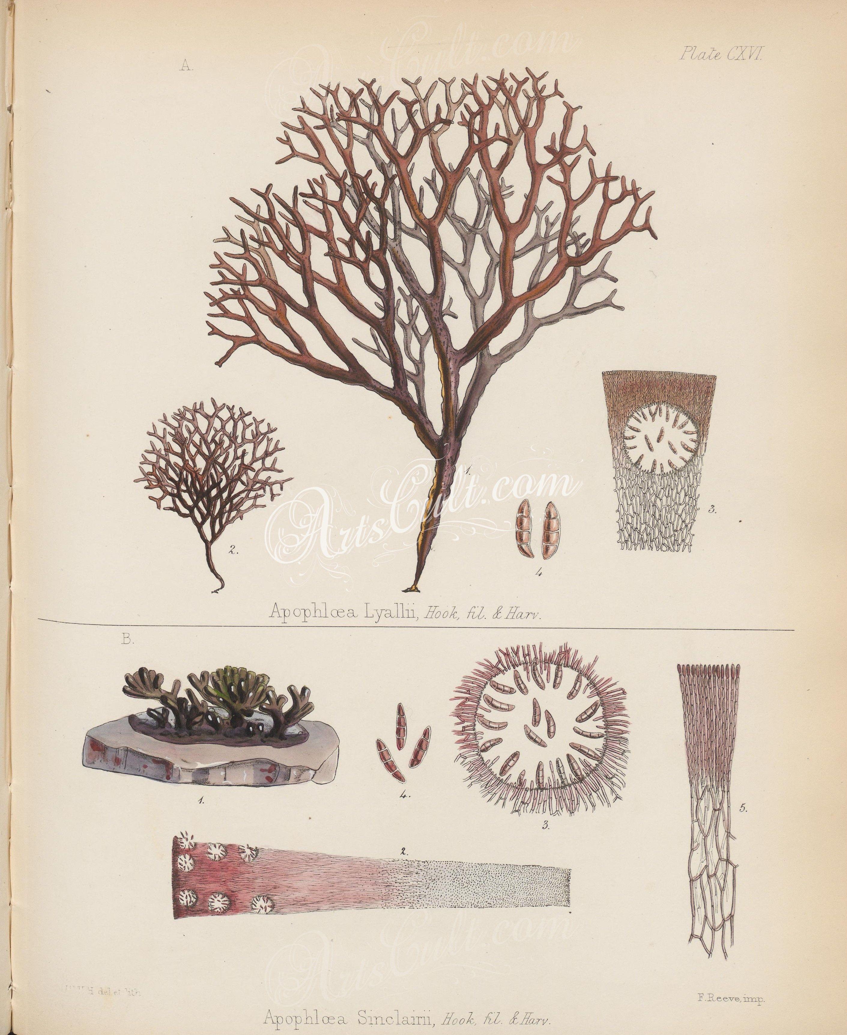 apophloea lyallii, apophloea sinclairii   ...