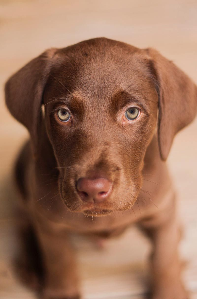 Beautiful Chocolate Brown Adorable Dog - 65c66098a960f6d0016d4e3451427aee  Pictures_926110  .jpg
