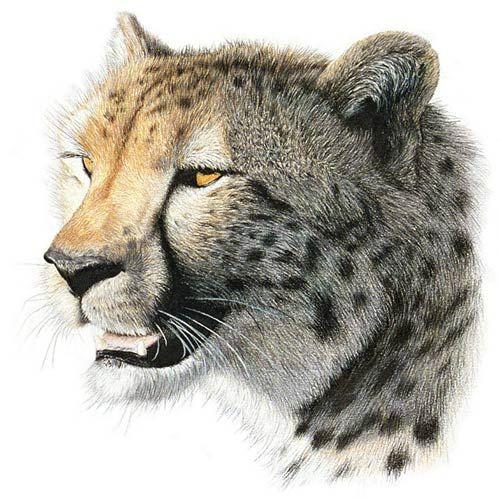 Coloured Pencil Drawings Cheetah Color Pencil Drawing Drawings Realistic Drawings