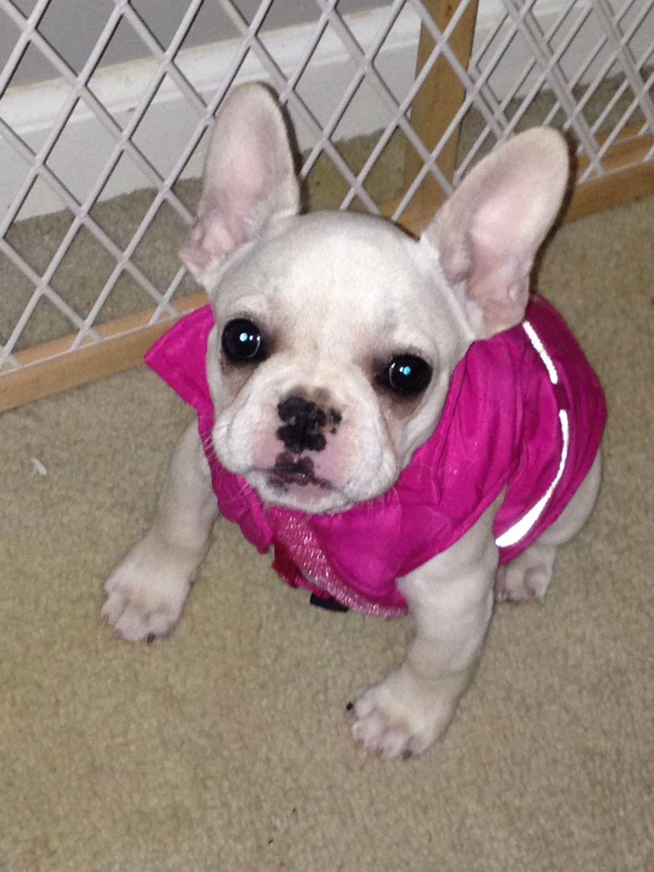 French Bulldog Puppy French Bulldog Puppy Love Puppies