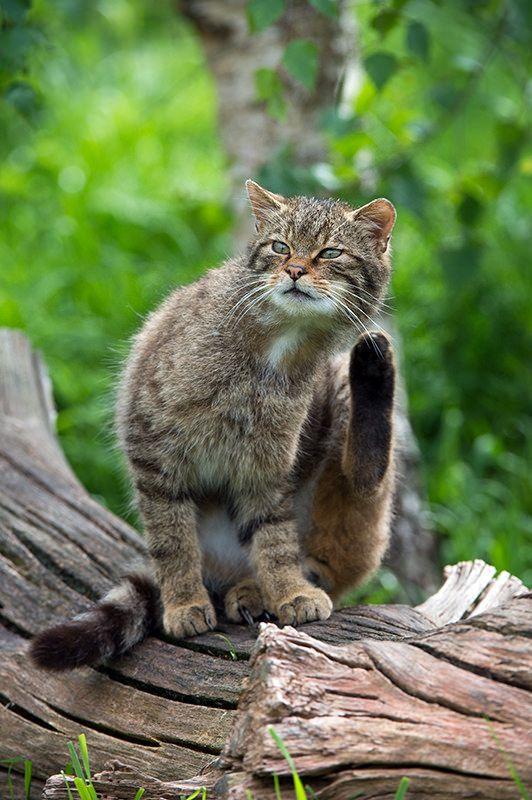 Escocés Wildcat (Felis silvestris Grampia) (POR Dave Hunt Fotografía): magicalnaturetour