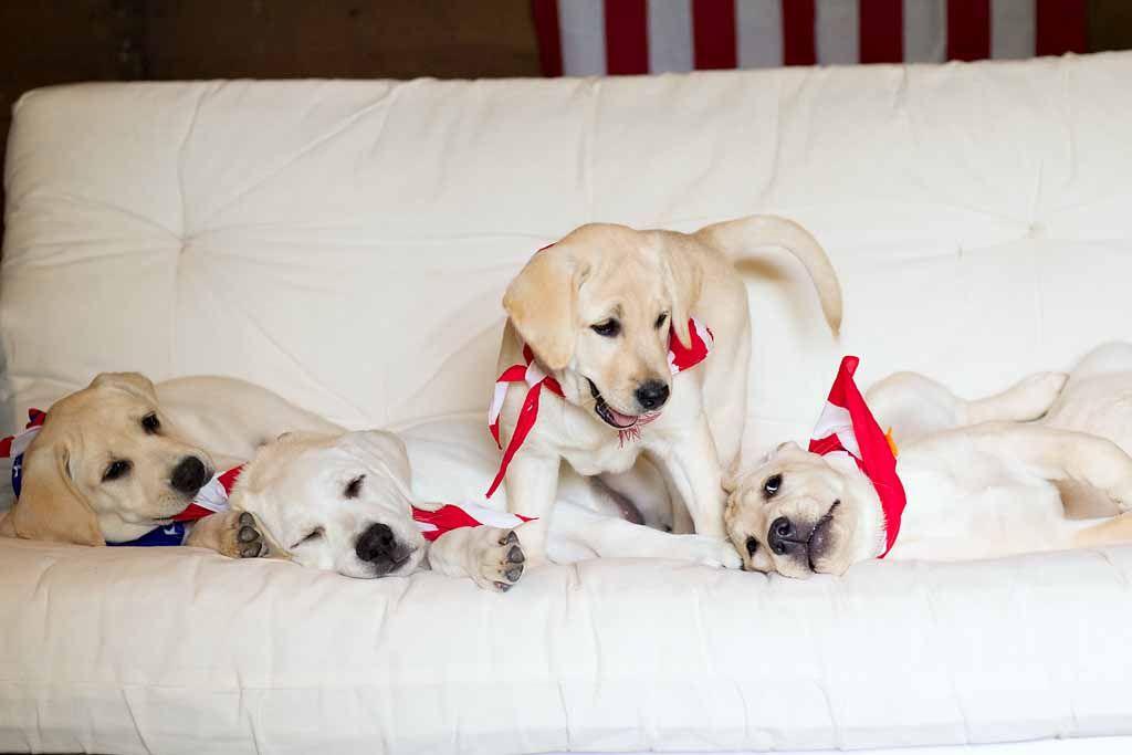 Rosey Is Always In The Middle Of Something 3 Yellowlab Whitelab Englishlabrador Labpuppies Happypuppy Www Tr Lab Puppies Happy Puppy English Labrador