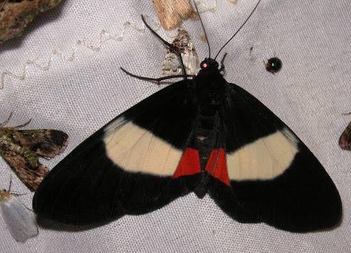 Geometridae+:+Ennominae+:+Eumilionia+mediofasciata+ROTHSCHILD,+1896.+Mokwam+(Arfak,+Papua),+20+août+2007.+Photo+:+J.+Michel
